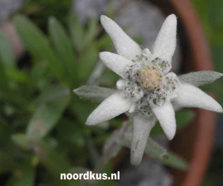 edelweiss_01